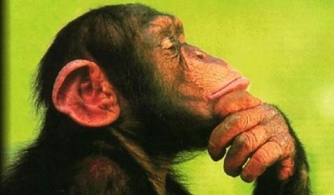 cimpanzeu_76671400