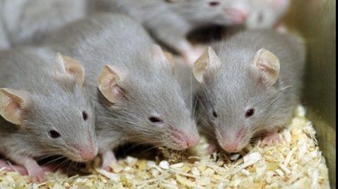 Alarmă! Un suedez a decedat la Cluj-Napoca, infestat de virusul șoarecilor