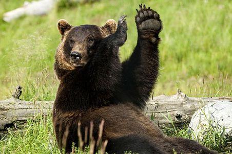 Pui de urs, care alerga pe carosabil, a fost filmat în Câmpia Turzii