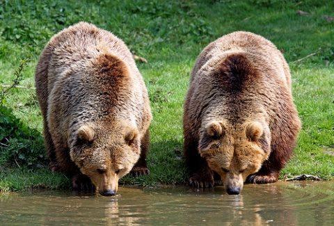 ISU avertizează populaţia din Câmpia-Turzii să fie atentă şi să nu se deplaseze noaptea, din cauza prezenţei unui urs