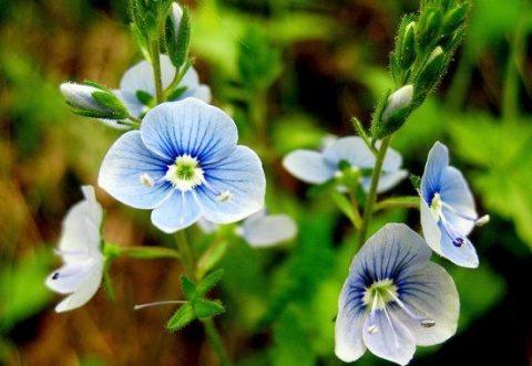 """Ventrilica, planta care vindecă """"toate relele"""""""