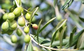 Ceaiul din frunză de măslin reduce riscul de cancer