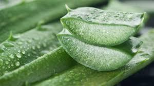 Aloe vera – stopează cancerul