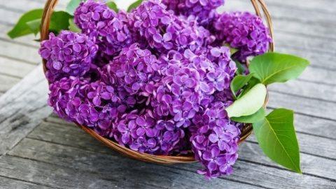 Florile de liliac vindecă multe boli