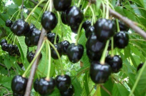 Cireșele negre reduc colesterolul