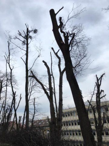 Deputatul Adrian Dohotaru sare în sprijinul arborilor mutilați din campusul Hașdeu!