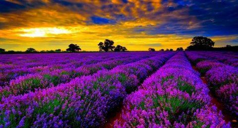 Poemul Zilei: Câmpul de lavandă