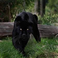 Poemul Zilei: Pantera neagră