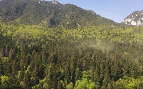 Vezi polenizarea în pădurile de molid şi brad. Fenomen o dată pe an (Video)
