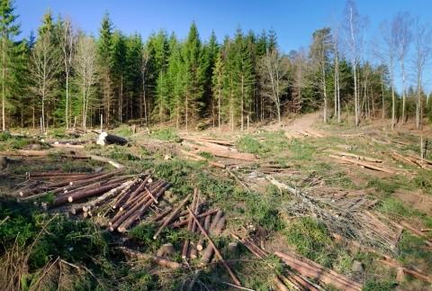 Schweighofer Leaks: Află cum se poate cumpăra lemn ilegal