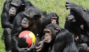 SUA: Cimpanzeii americani vor putea beneficia de aceleaşi drepturi pe care le au oamenii