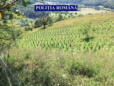 Plantație de cannabis descoperită în județul Cluj, lângă Dej